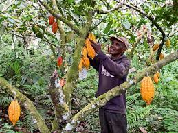 Nigeria Bracing Up To Reclaim Top Position In cocoa Production
